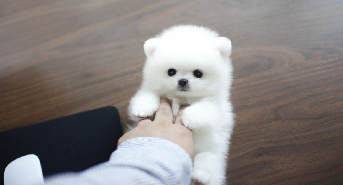 Usa We Have The Smallest Cutest Pets Buy Sell