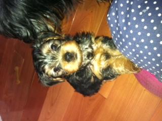Ogłoszenie darmowe. Lokalizacja:  Trenton. ARCHIWALNE - Wszystkie. Sprzedam pieski rasy Yorkshire Terrier.