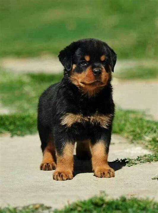 Whole World  Male And Female Rottweiler Puppies :: Pets