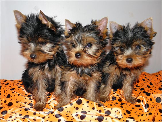 Denverco Get A Teacup Yorkie Puppy Pets Buy Sell