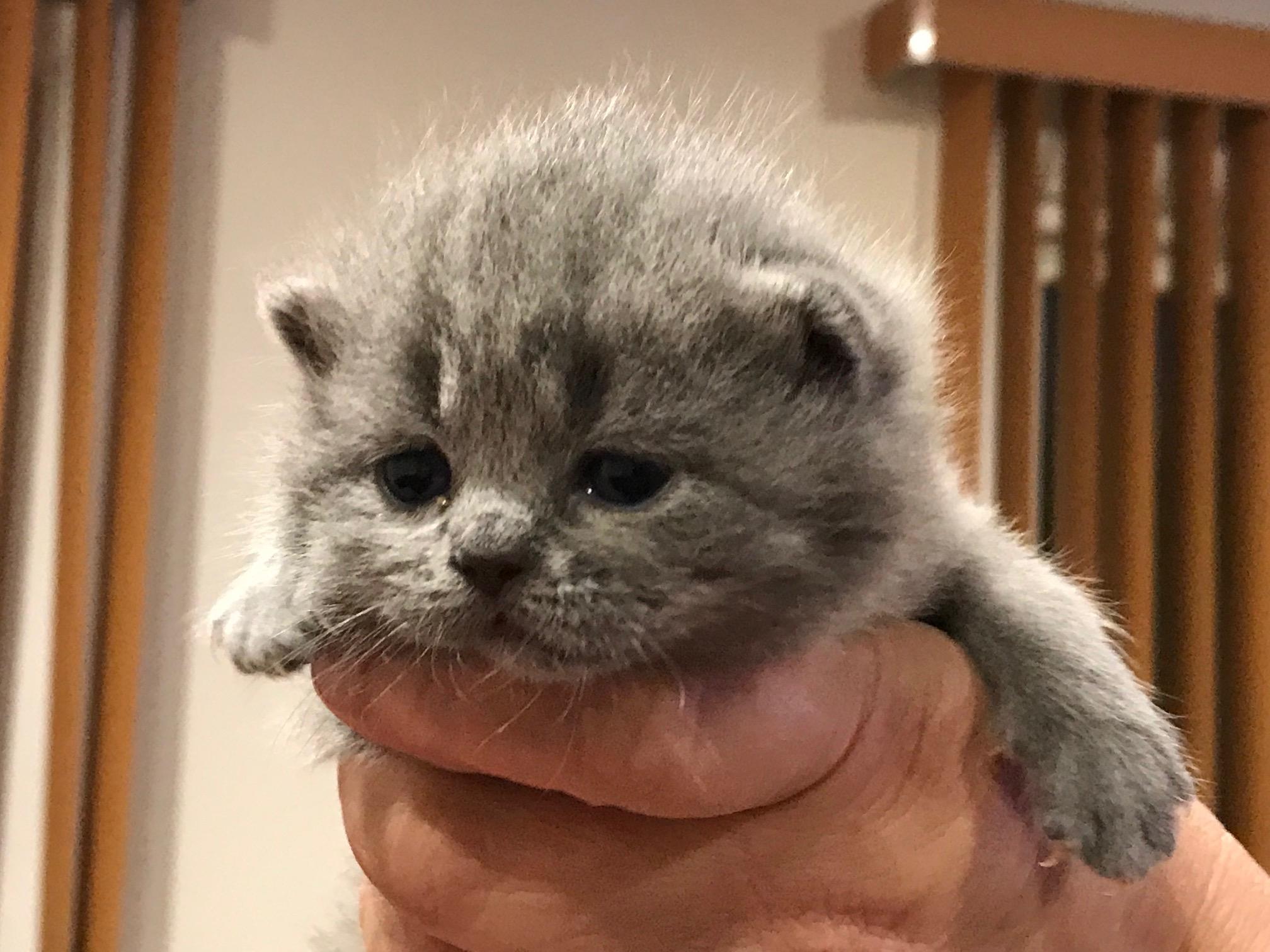 Ogłoszenie darmowe. Lokalizacja:  Philadelphia PA. BUY / SELL - Pets. For Sale Scottish Fold/Straight Kittens!!!.