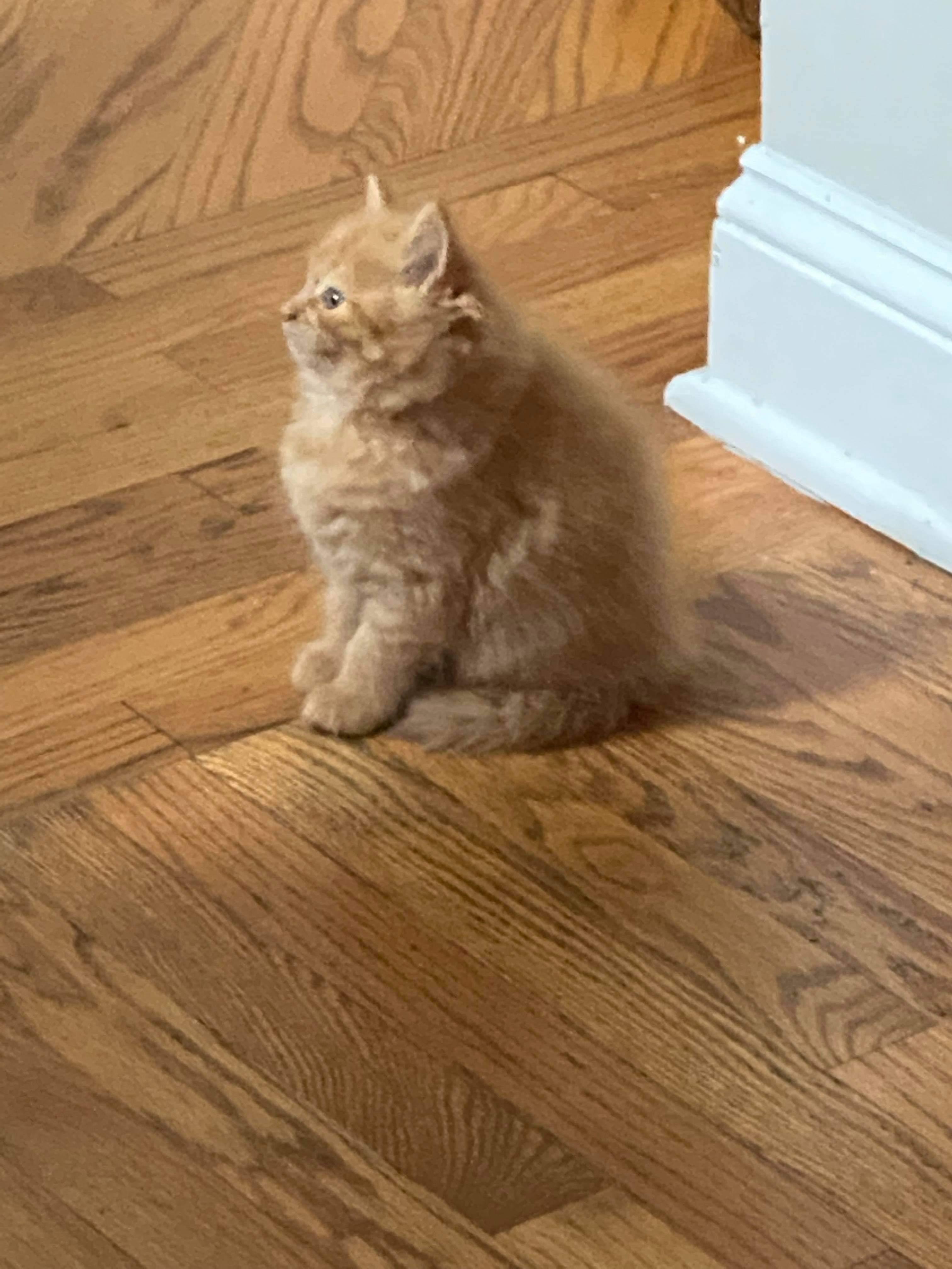 Ogłoszenie darmowe. Lokalizacja:  Trenton. KUPIĘ / SPRZEDAM - Zwierzęta domowe. Kotek Szkocki Długowłosy, 8 tygodni,.